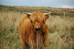 коричневые детеныши гористой местности коровы Стоковое фото RF
