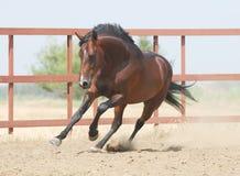 коричневые детеныши trakehner лошади Стоковое фото RF