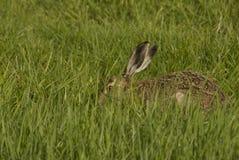 коричневые зайцы Стоковое Фото