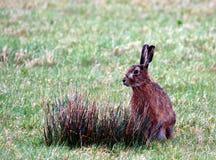 коричневые зайцы Стоковые Фото