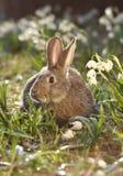 коричневые зайцы стоковое фото rf
