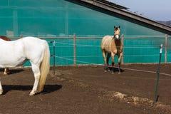коричневые и белые лошади на paddock когда солнце посветит Стоковое фото RF