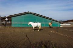 коричневые и белые лошади на paddock когда солнце посветит Стоковое Изображение RF