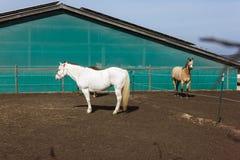 коричневые и белые лошади на paddock когда солнце посветит Стоковые Фотографии RF