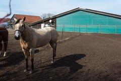 коричневые и белые лошади на paddock когда солнце посветит Стоковое Изображение