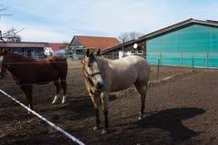 коричневые и белые лошади на paddock когда солнце посветит Стоковые Фото