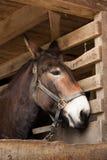 коричневые конюшни лошади Стоковые Фотографии RF