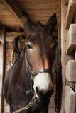 коричневые конюшни лошади Стоковые Фото