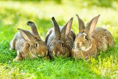 коричневые кролики 3 Стоковые Фото