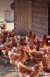 коричневые курицы Стоковое Изображение