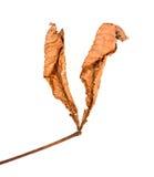 коричневые листья Стоковая Фотография