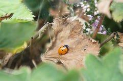 коричневые листья ladybird Стоковая Фотография RF
