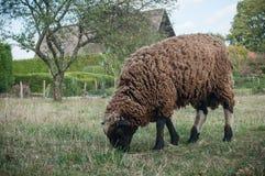 коричневые овцы в луге Стоковые Фото
