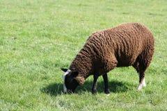 коричневые овцы Стоковые Фото