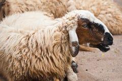 коричневые овцы Стоковое Изображение RF