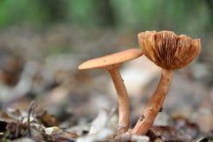 коричневые пары грибов Стоковое Изображение RF