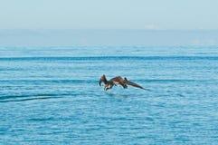 2, коричневые пеликаны принимая тропическую воду стоковые фотографии rf