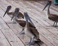 коричневые пеликаны Стоковая Фотография