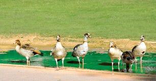 коричневые утки Стоковое Фото
