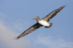 коричневые детеныши пеликана Стоковые Фотографии RF