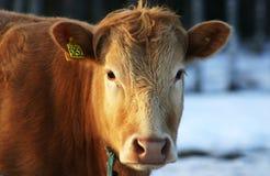 коричневый бык Стоковые Фото