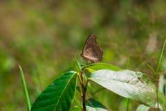 коричневый вал бабочки Стоковая Фотография