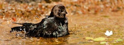 коричневый возглавленный cowbird стоковые изображения