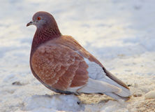 Коричневый голубь на снеге Стоковое Фото
