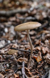 Коричневый гриб Стоковая Фотография RF