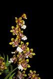 коричневый желтый цвет орхидеи Стоковое Фото