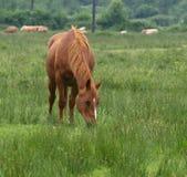 коричневый жеребец Стоковая Фотография