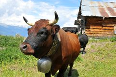 коричневый журнал коровы кабины старый Стоковое Фото