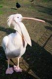 коричневый земной пинк пеликана Стоковые Фото