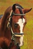 коричневый искать лошади стоковое фото rf