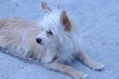 Коричневый и белый смотреть собаки Стоковая Фотография RF