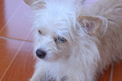 Коричневый и белый смотреть собаки Стоковая Фотография