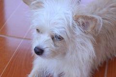 Коричневый и белый смотреть собаки Стоковые Фото