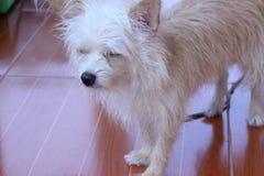 Коричневый и белый смотреть собаки Стоковое фото RF