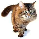 коричневый кот Стоковые Фото