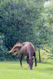 коричневый красный цвет лошади Стоковые Фото