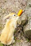 Коричневый кролик зайчика есть морковь в саде Стоковая Фотография RF