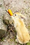 Коричневый кролик зайчика есть морковь в саде Стоковые Фотографии RF