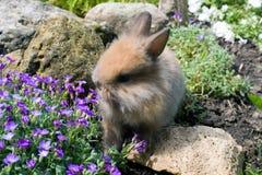 коричневый кролик малый Стоковые Изображения