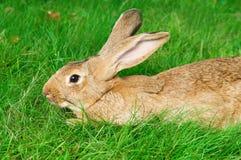 коричневый кролик травы зайчика Стоковые Фотографии RF