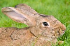 коричневый кролик травы зайчика Стоковая Фотография