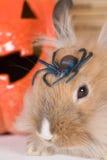 коричневый кролик тыквы halloween Стоковые Изображения RF