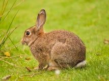 коричневый кролик Стоковое фото RF