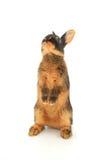 коричневый кролик Стоковое Изображение