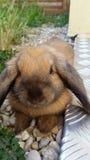 коричневый кролик Стоковое Фото