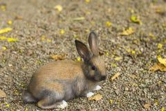 коричневый кролик Стоковые Изображения